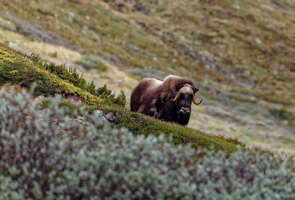 Dovrefjell-19062016-021-Brey-Photography.jpg